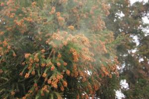 杉花粉舌下免疫療法